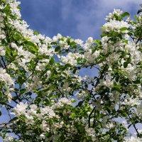 Яблоня ягодная цветёт на Севере (12 июня) :: Николай Зиновьев