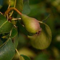Висит груша, рано кушать) :: Александр Протопопов