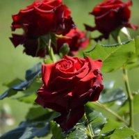 просто розы :: Геннадий Титов