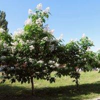Катальпа – дерево удивительной красоты :: Татьяна Смоляниченко