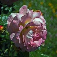 Розовая роза :: Сергей Фомичев