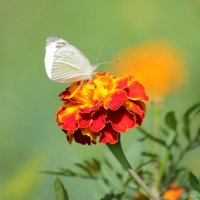 Бабочка-капустница на цветке :: -DMS- .