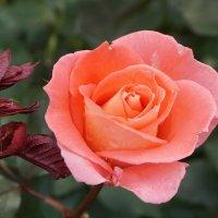 ...я роза. :: Владимир Гилясев