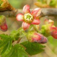 Смородина цветет. :: Вера Литвинова
