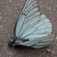 Бабочка :: Elena Gorbatenko