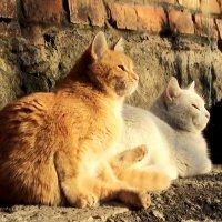 Кошки в лучах закатного солнца :: Лера Николова