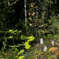 Чарующий своею таинственностью и загадочностью,лес... :: Лариса Сафонова