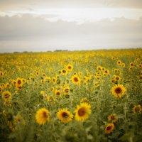 золотое поле :: Евгений Мордвинов