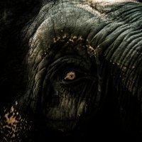 честный глаз рассерженного слона :: Vitaliy Mytnik