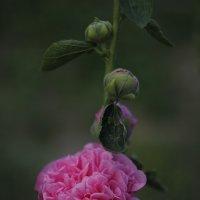шток-роза :: Анастасия Intialle