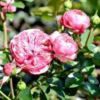 розы :: Tan Presly