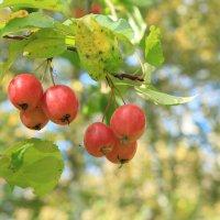 ягоды.. :: Олег Фролов