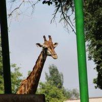 Жираф :: Ольга Опарина