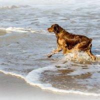 Рыжий пёс, бегущий краем моря. :: Виталий Волкоморов