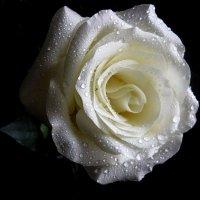 Белая роза :: Тамара Бучарская