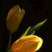 Тюльпаны :: Ирина Акулова
