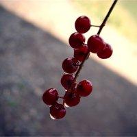 ягодки :: Света Кондрашова