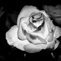 Роза :: Наталья Коломийчук