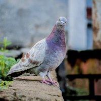 Любопытный голубь :: Павел Данилевский