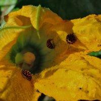 Кто живет в цветке тыквы :: Helen Helen