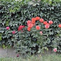 розы :: Николай Гирев