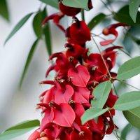 Эритрина, коралловое дерево :: Елена Богос