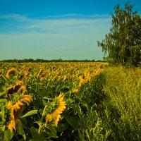 солнечные цветы :: Виктория Гринченко