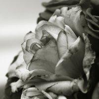 домашние розы-самые красивые розы) :: Mariya Zybkova