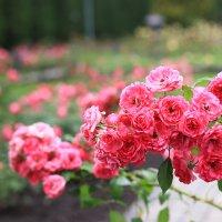 Долина роз в Кисловодске :: Елена Грицанова