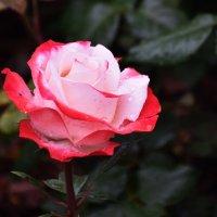 flower :: Jerzy Hermanowicz