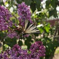 Бабочка :: Ольга Почепаева