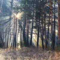 Утро в сосновом лесу (С) :: Сергей l