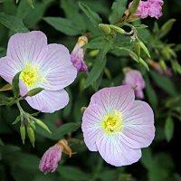 Наши цветы :: Валентин Семчишин