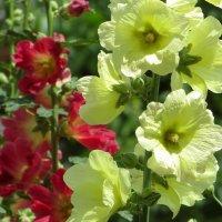 Мальвы - цветы из детства :: Татьяна Смоляниченко