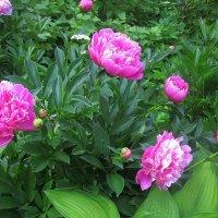 Цветут роскошные кусты, Прекрасны нежные цветы! :: Ольга Довженко