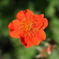 цветок :: Iris