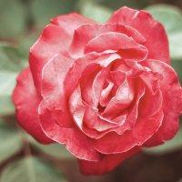 нежность розы :: Татьяна Ковалькова