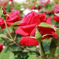 киевские розы :: tina kulikowa