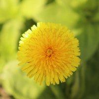 Луч солнца на цветке. :: Лена Горелова