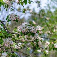 Яблони в цвету :: Олег Соболев