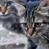 Коты. :: Валерий Дубровин