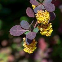 Барбарис цветет :: Grey Bishop