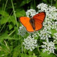 Бабочка червонец непарный. :: Люба