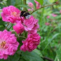 Сезон любви шмеля и розы. :: Люба