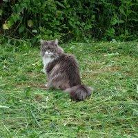 Соседский кот Ванька. :: Люба