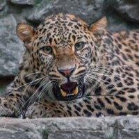 Персидский леопард :: Владимир Габов