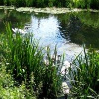Лебединая семейка в одном из центральных парков Лондона :: Тамара Бедай