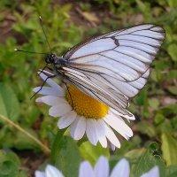 Бабочка на ромашке. :: Мила Бовкун