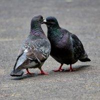 И голуби целуются :: Александр Запылёнов