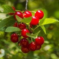 вишневая гроздь :: Петр Беляков